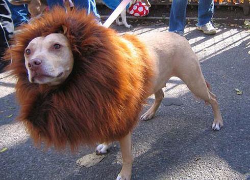 perro-disfraz-leon